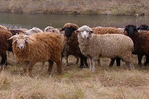 В Казахстане пастух и полторы тысячи овец погибли от удара молнией