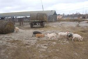 В Подмосковье судебные приставы выселили фермерское хозяйство из арендованного коровника