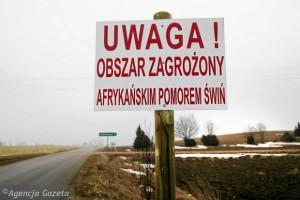 АЧС заставляет свиноводов Польши сокращать поголовье