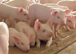 Свинина в живом весе оптом