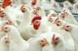 Под Волгоградом трое работников птицефабрики украли 605 цыплят