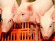 В Кормиловку привезли свиней из Орловской области