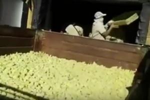 На аргентинской птицефабрике уничтожили 9 млн цыплят