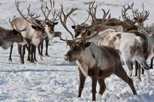Порядка 500 тыс. оленей привили от сибирской язвы на Ямале