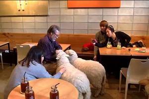 В Сеуле открылось кафе с живыми овцами