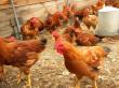 Дачная курица по сезону и советы Сергея Галкина по антикризисному птицеводству