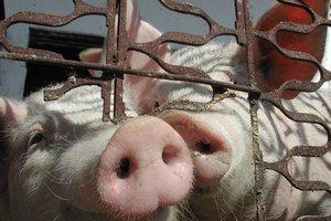 В Ростовской области уничтожили 18 тонн свинины из Германии