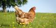 Самая благополучная ситуация в птицеводстве сложилась на Северо-Западе России