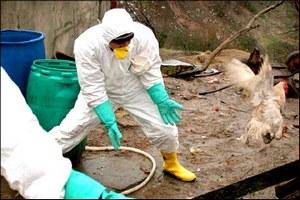 В Щелковском районе Подмосковья завершили дезинфекцию на птицефабрике, где была зафиксирована вспышка птичьего гриппа