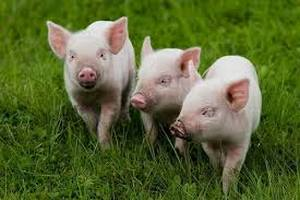 Свиноферма в ЕАО ответит за ненадлежащий уход за поросятами