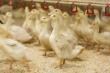 Единственный в СКФО племрепродуктор в Карачаево-Черкесии увеличит поголовье уток на 25%