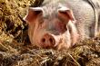 Две пандемии и Brexit ставят под угрозу свиноводческий сектор Великобритании