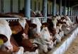 На Алтае завершается строительство объекта мясного животноводства на 600 голов
