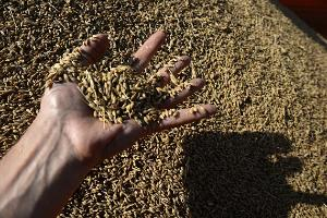 Цены на зерно в России обновляют максимумы, но катастрофой не становятся