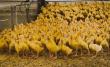 В Новосибирской области создадут предприятия по производству мяса индейки и утки