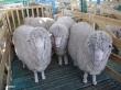 Овцеводы юга России меняют приоритеты
