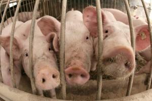 В целях борьбы с чумой свиней в Китае было забито 631 тыс. домашних свиней