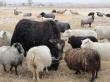 Животноводы Республики Тыва будут поставлять баранину и мясо яка в Узбекистан