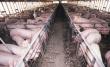 В Татарстане цены на свинину достигли пика минимума
