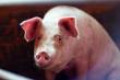 На полный производственный цикл вышел крупный свиноводческий комплекс в Ребрихинском районе