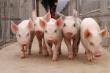 25 мая в Москве пройдет Первый российский саммит по свиноводству