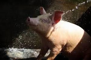 В Амурской области предложили построить свиноводческий комплекс более чем на 70 тысяч голов