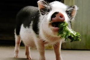 Генетики создали устойчивых к вирусам свиней