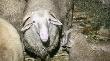 Правительство РФ выделит 670 млн руб на развитие овцеводства