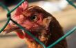 ЗАО «Иртышское» возобновило производство после вспышки птичьего гриппа