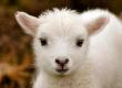 На Ставрополье будут заниматься выведением новой селекции овец повышенной продуктивности