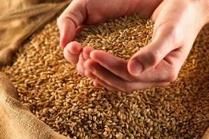 Ткачев: В перспективе около 15 млн т зерна должно постоянно храниться в государственном интервенционном фонде и госрезерве