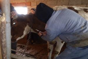 В животноводческих хозяйствах Саратовской области проводятся плановые противоэпизоотические мероприятия