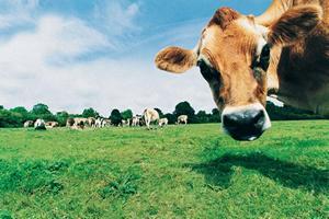 В Рязанской области надои на одну фуражную корову превысили показатель в 5,5 тысячи килограммов