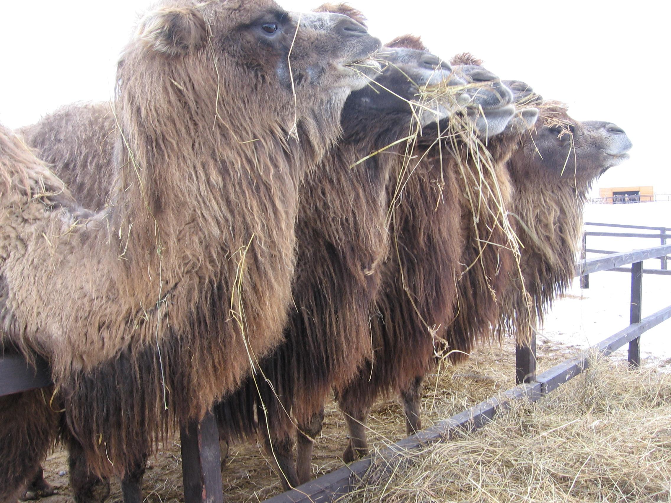 Мясо верблюдов