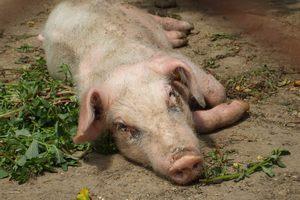 Падеж свиней в Минской области произошел из-за нарушения ветправил