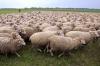 В Якутии будут разводить овец бурятской породы
