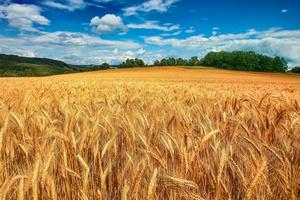 Экспортная пошлина на пшеницу с 1 октября составит 50% минус 6,5 тыс. рублей, но не менее 10 руб. за тонну