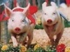Рейтинг крупнейших производителей свинины в РФ ТОП 20 за 2010 год