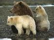 Охотоведы предлагают выпускать колбасу из медвежатины