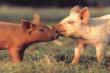 Канада сократила экспорт свинины на 3%