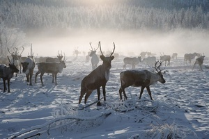 На Ямале планируют страховать оленей от природных аномалий с 2016 года