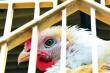 Птицеводство в России впервые за двадцать лет столкнулось с трудностями