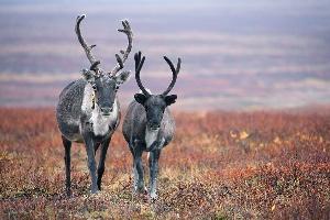 Ямальские кочевники просят ввести режим ЧС из-за падежа оленей
