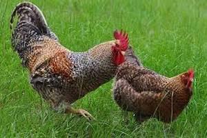 Украинская компания «Агроэкология» будет производить органическую курицу