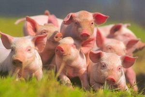 Испания наращивает производство свинины