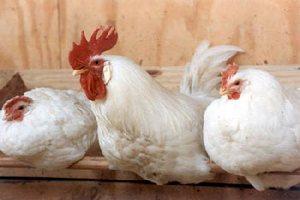Экс-министр сельского хозяйства Забайкальского края не отрицает необходимости поддержки Читинской птицефабрике