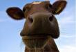 На Дону поголовье крупного рогатого скота увеличилось на 2%