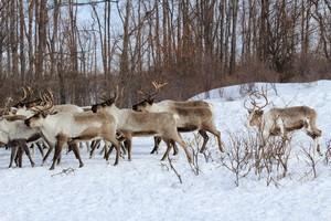 В Тазовском районе ЯНАО были незаконно забиты более 6000 туш оленей