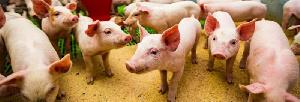 Шойбулакский племзавод открыл пятый свиноводческий комплекс