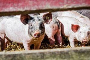 Алтайскому краю нужно 2 млрд рублей, чтобы достроить два свинокомплекса